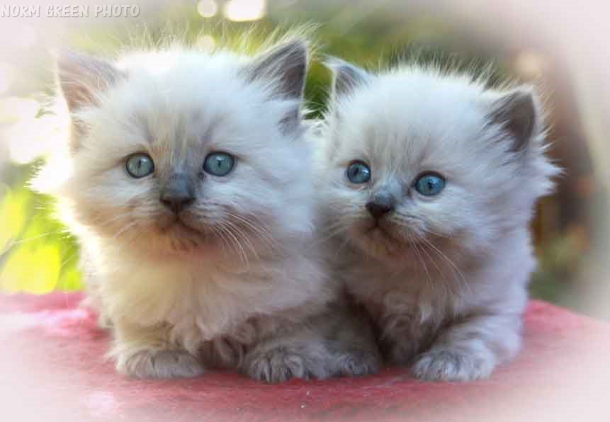 Ragdoll cats for sale in perth wa